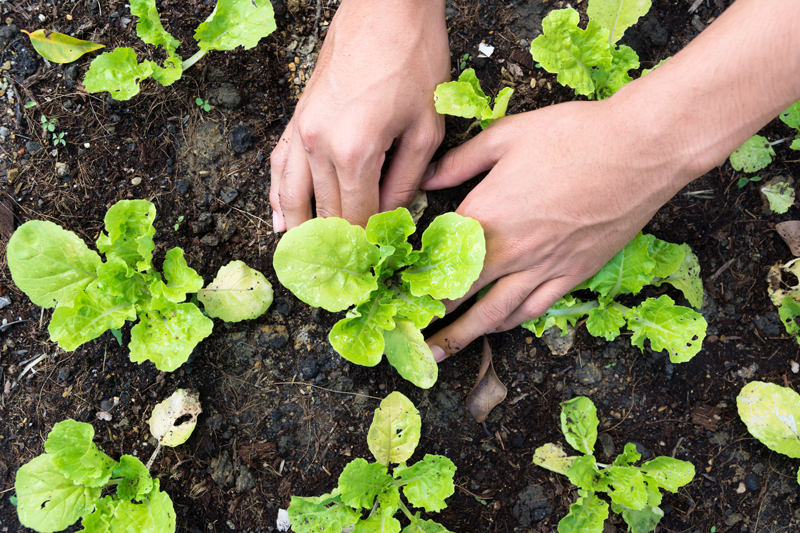 Look for small packs of a variety of broccoli, cabbage, kale, and brussel sprouts in mid to late August.