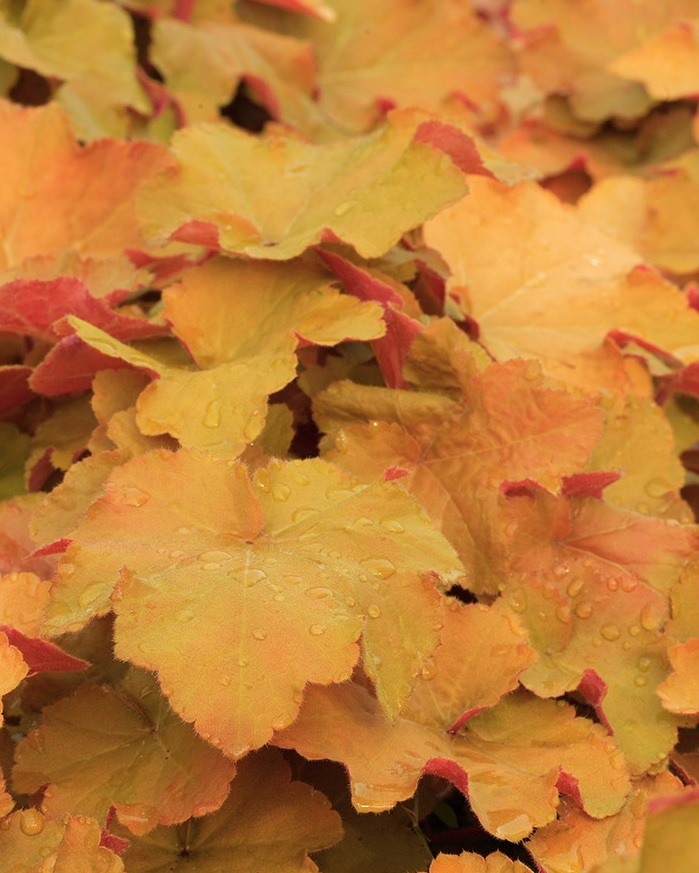 FABULOUS FALL FOLIAGE SEMINAR - September 21st 10am-11amJoin Danielle Young, from Skagit Gardens, for a complimentary seminar on how to incorporate amazing fall foliage colors into your landscape.