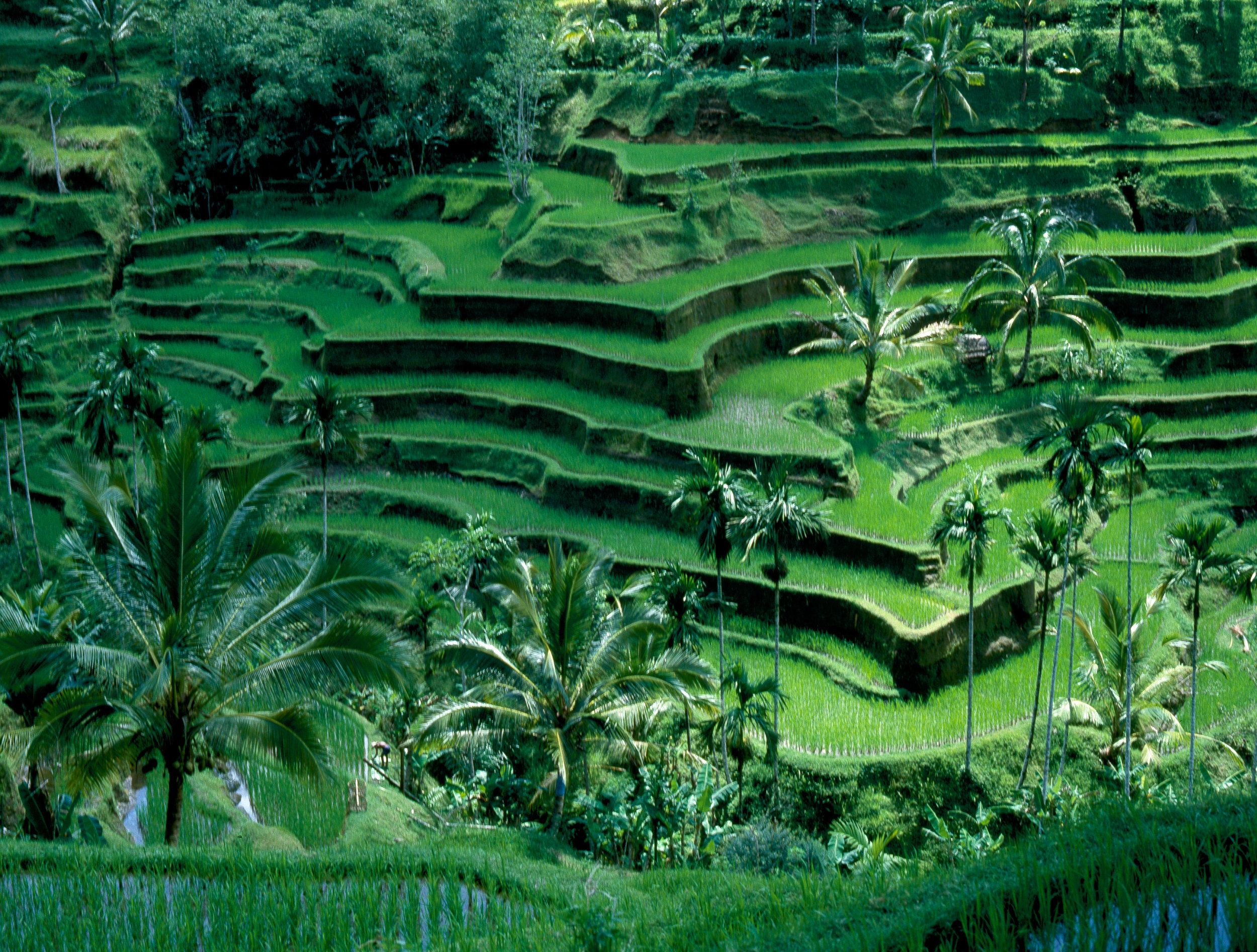 Bali. Terraced rice fields. Country of Origin: Indonesia. Culture: Balinese. Date/Period: 1982 Place of Origin: Bali. Credit Line: Werner Forman Archive.