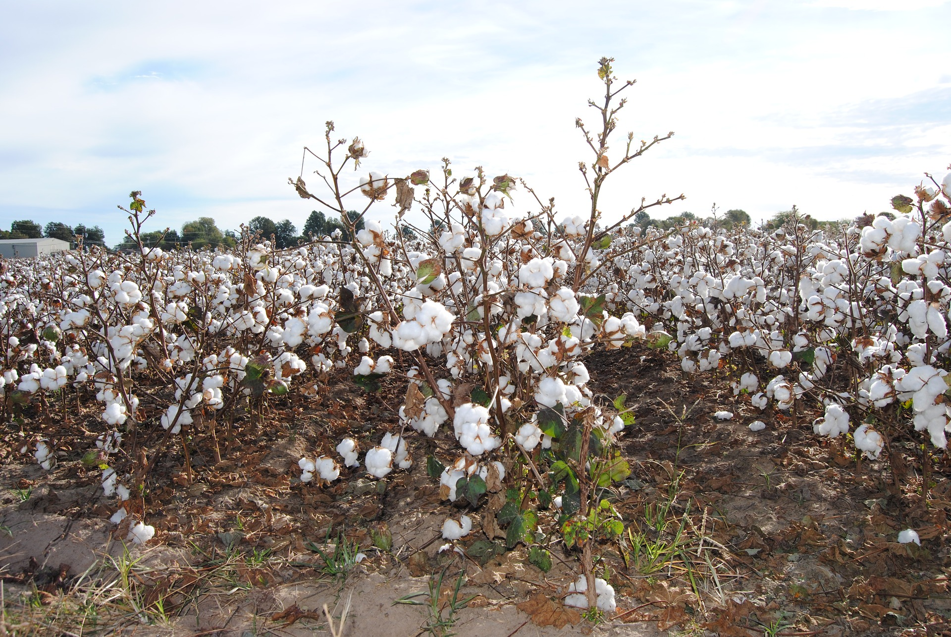 india_cotton_field