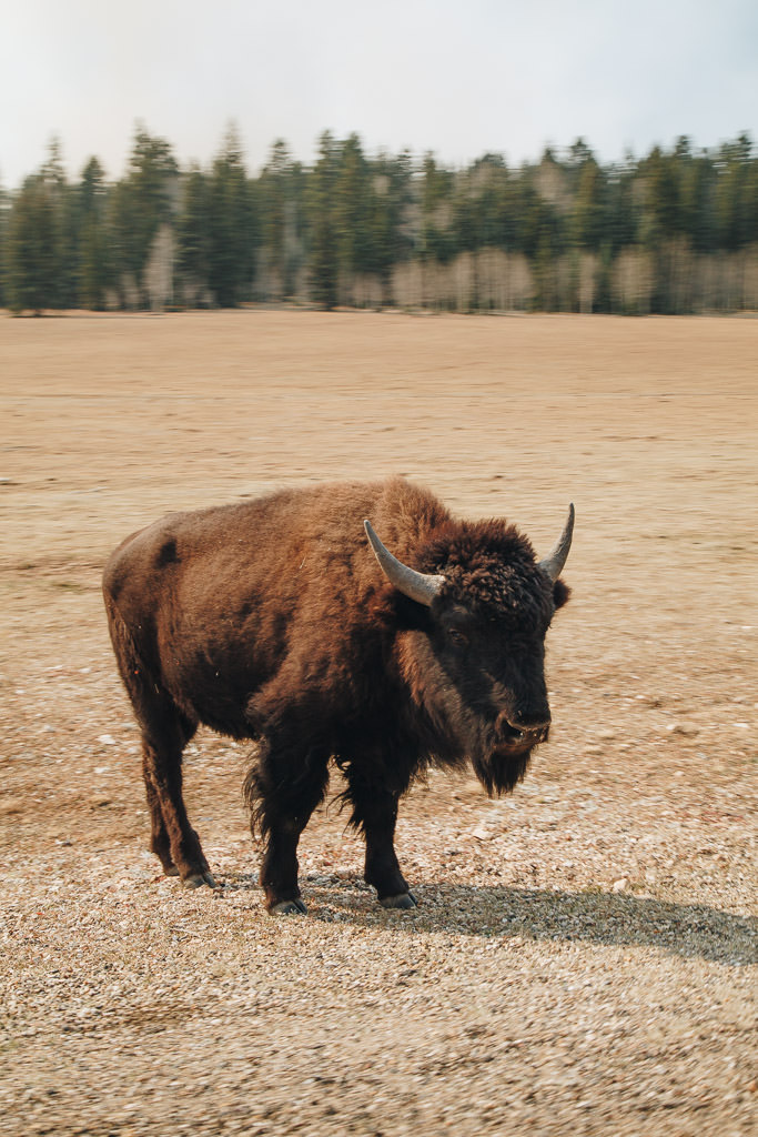 bison on the side of the road at Grand Canyon National Park