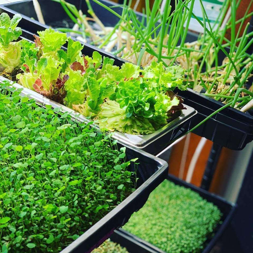 Some of the greens we've grown right in our own kitchen!
