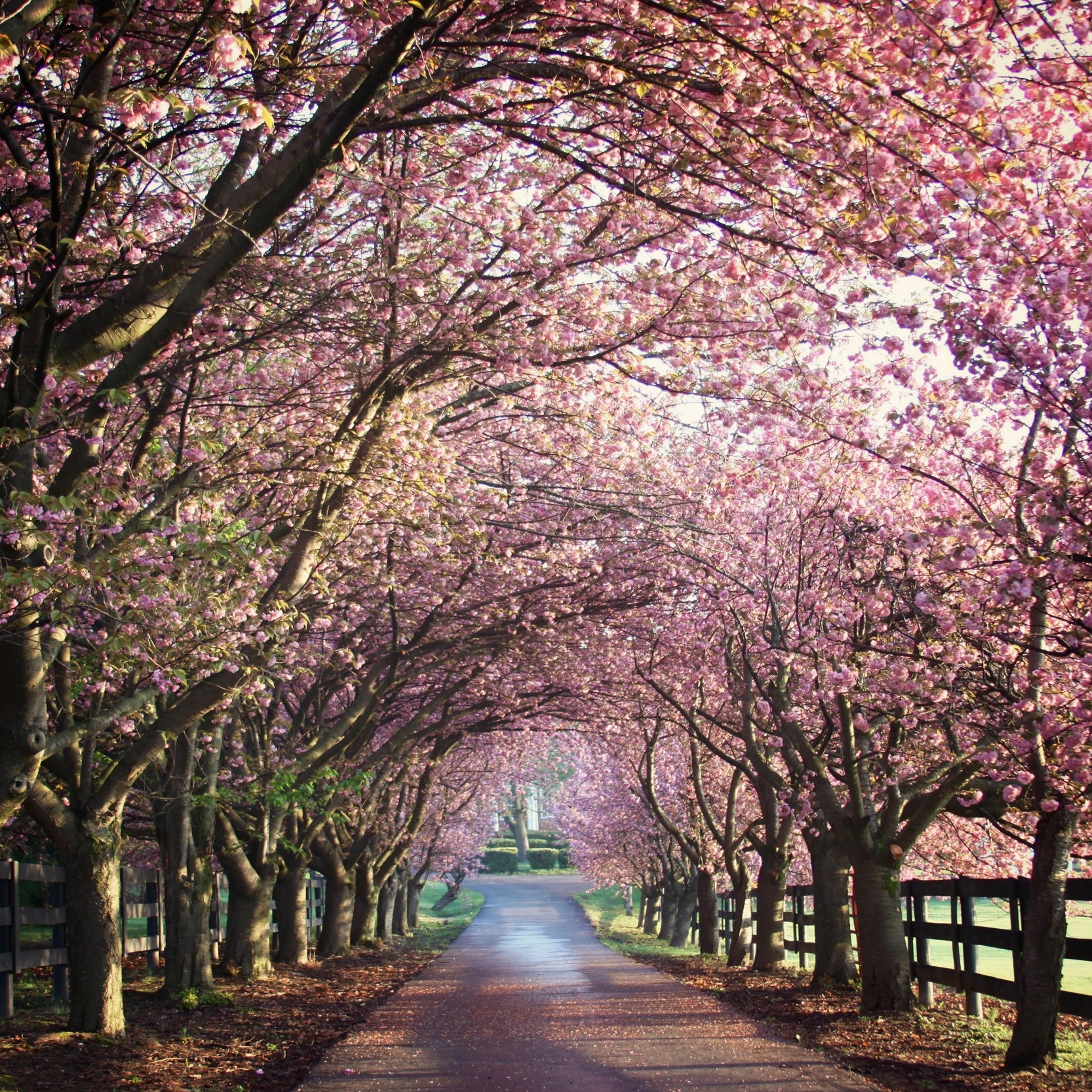 Cherry Blossom Drive2.jpg