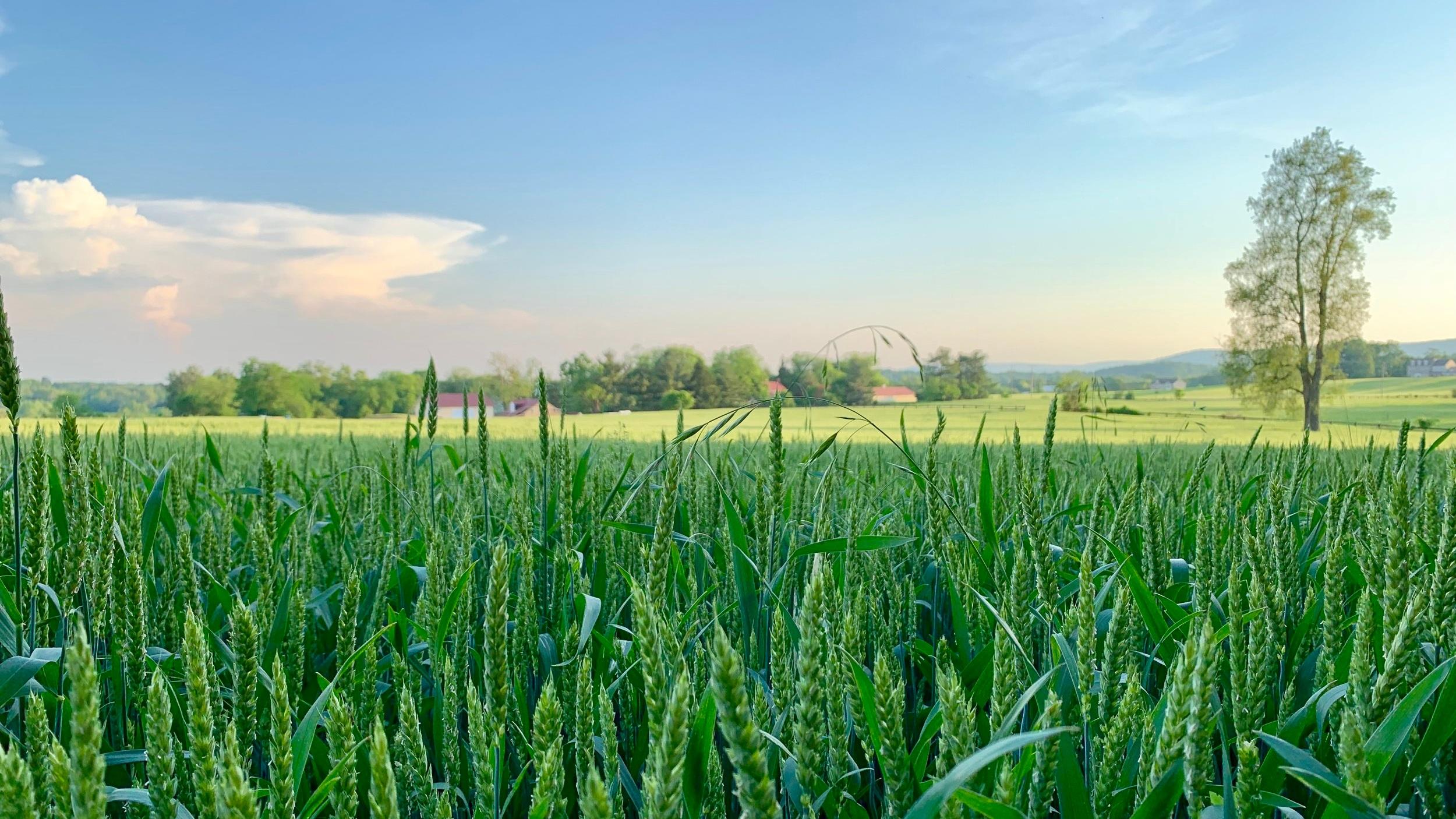 Green+Wheat.jpg