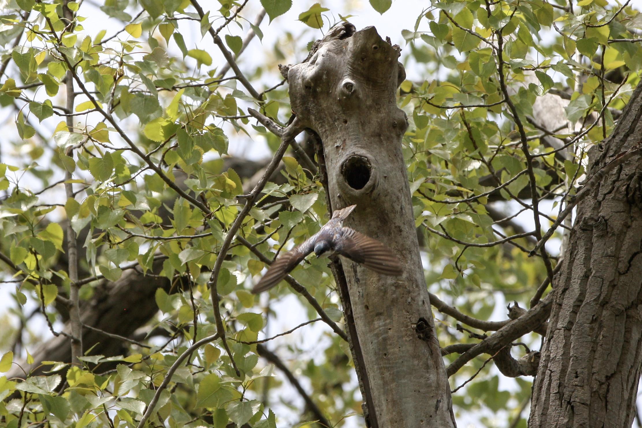 TreeSwallow2.JPG