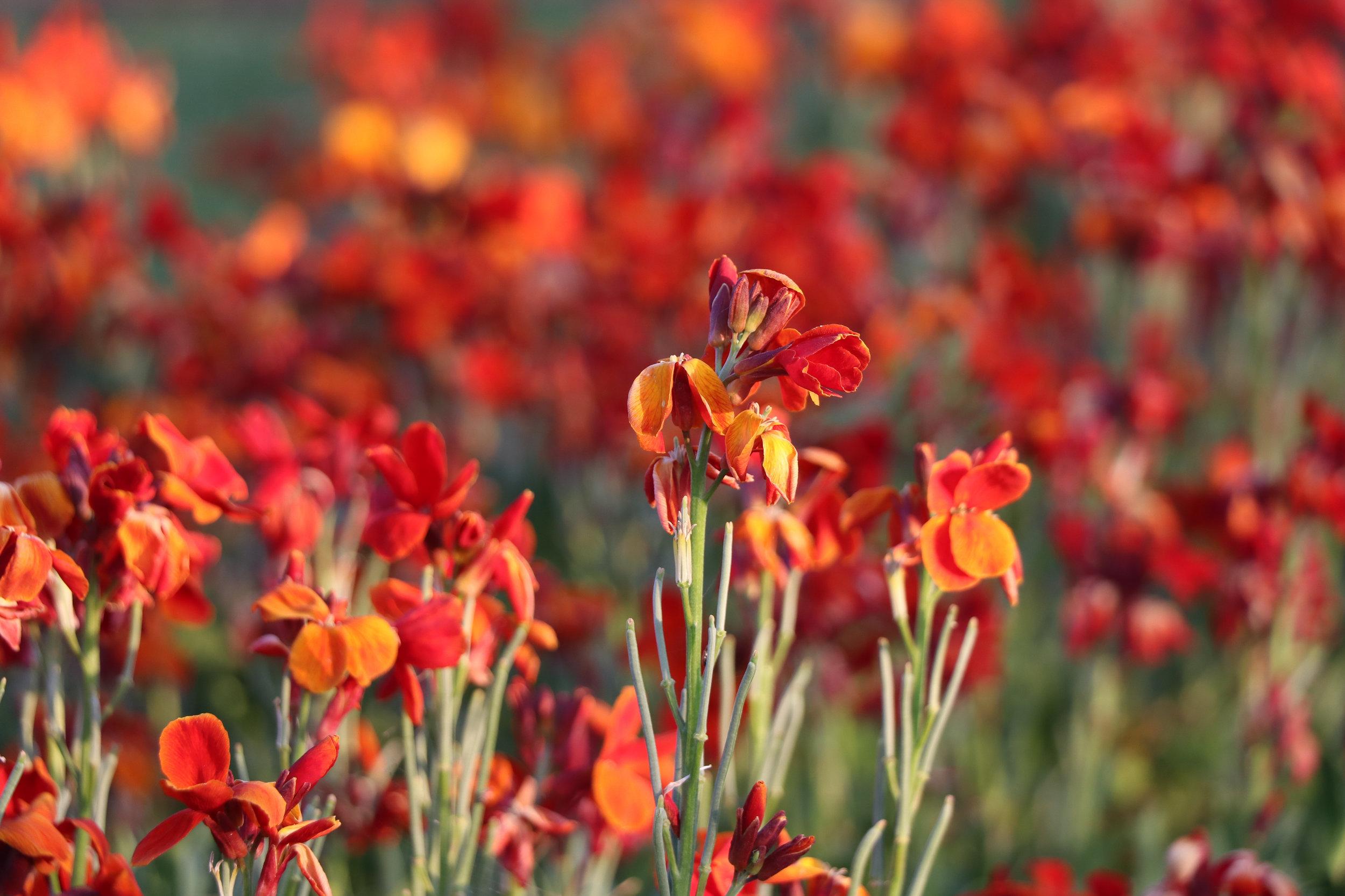 bright orange wall flower fire king.jpg