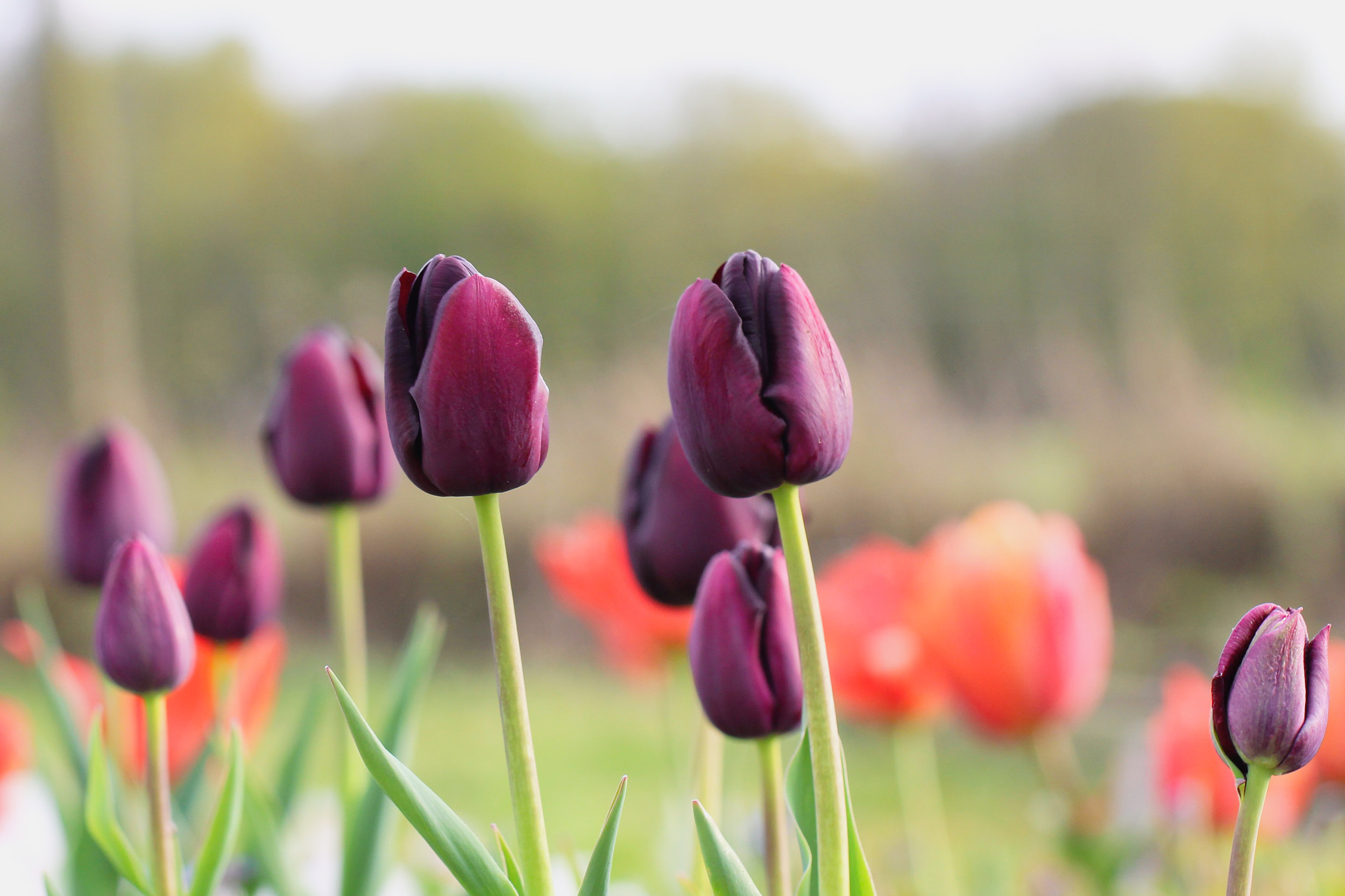 queen of the night tulip.jpg