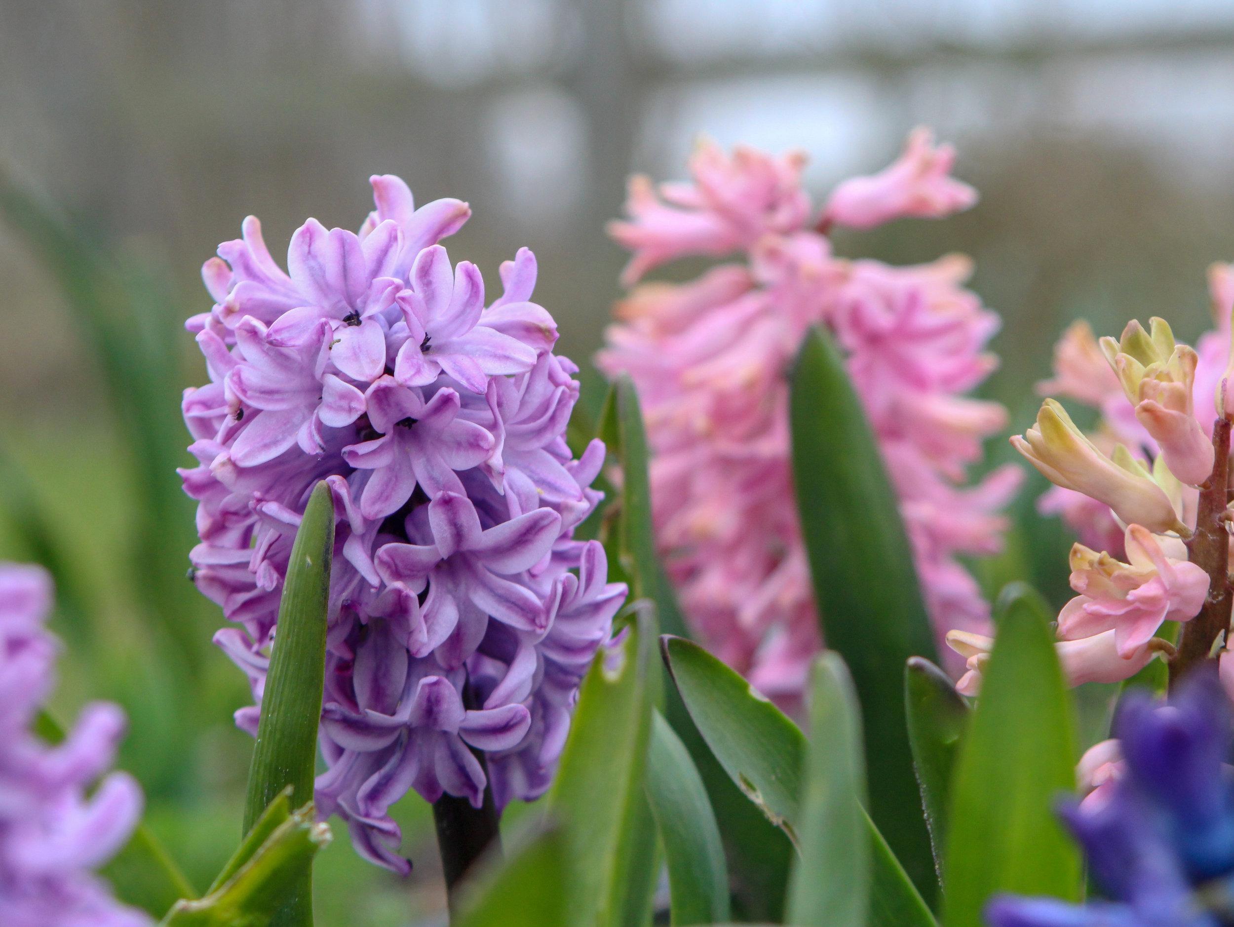 spring purple hyacinth in patch.jpg