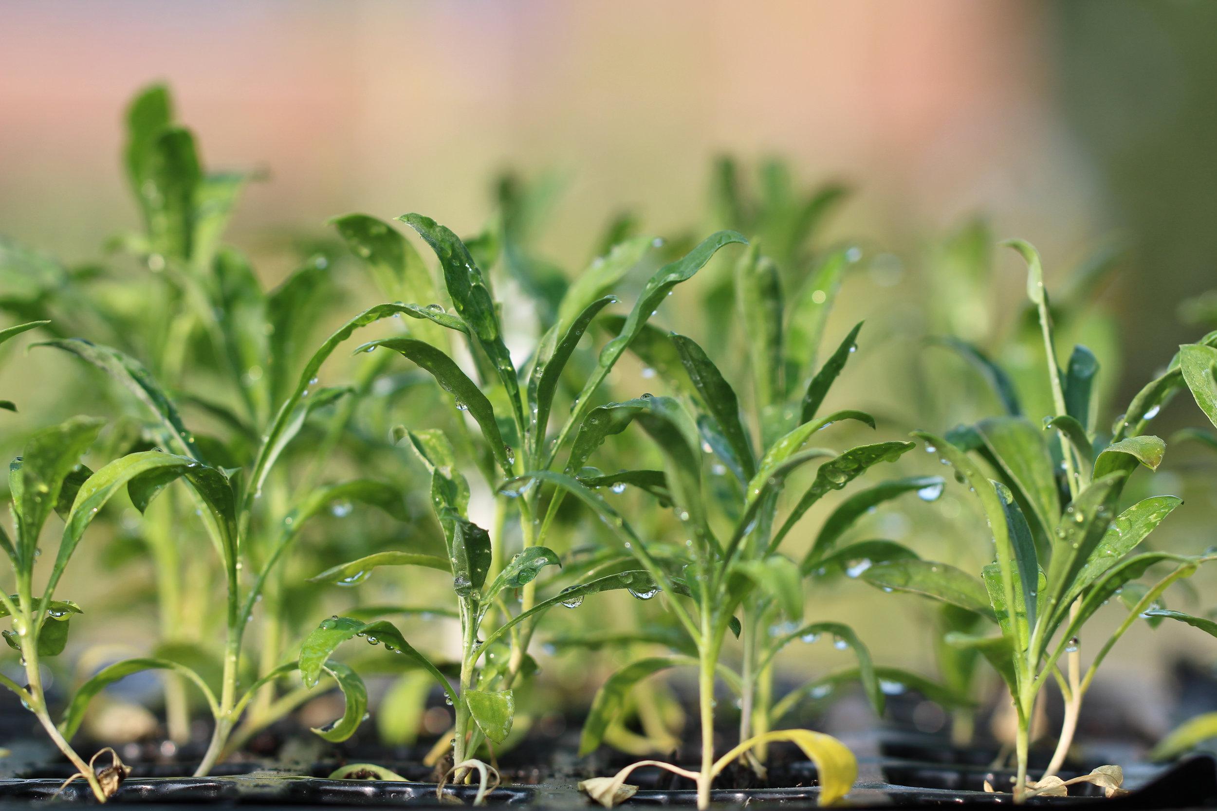 wallflower seedlings.jpg