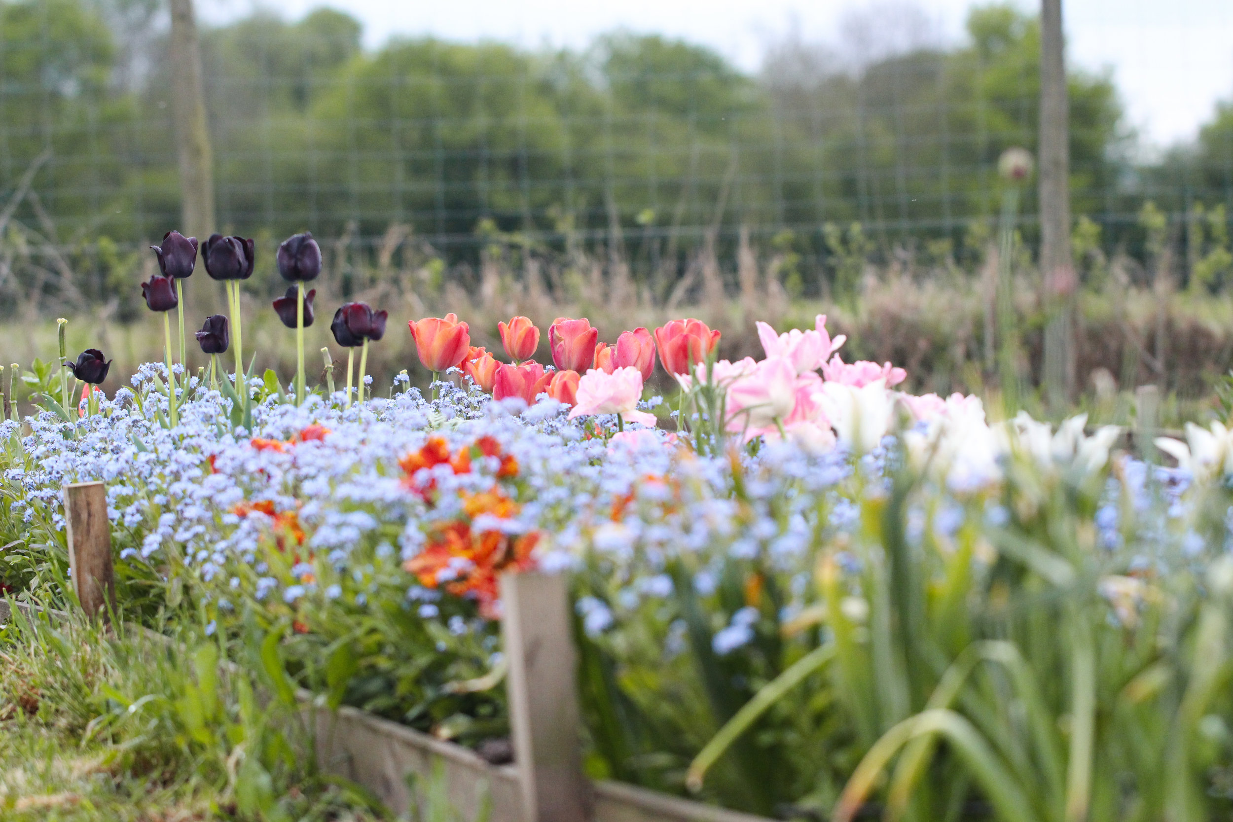 tulips and forget me nots in border.jpg