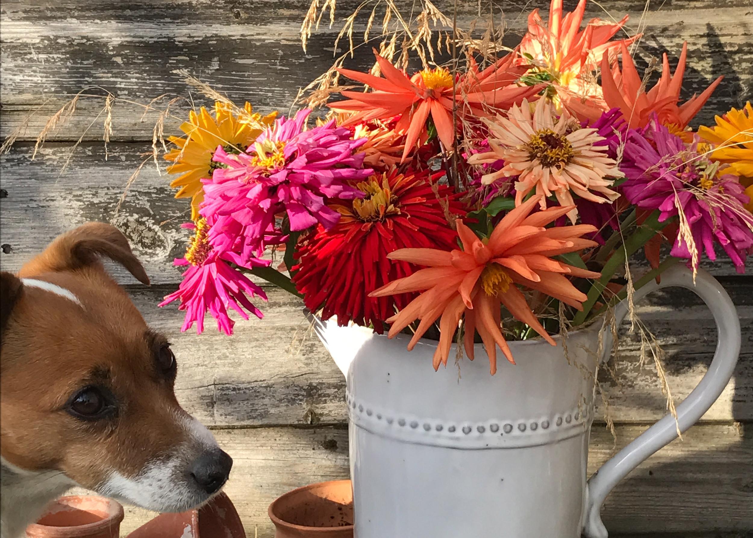 jug of autumn colour dahlies.jpg