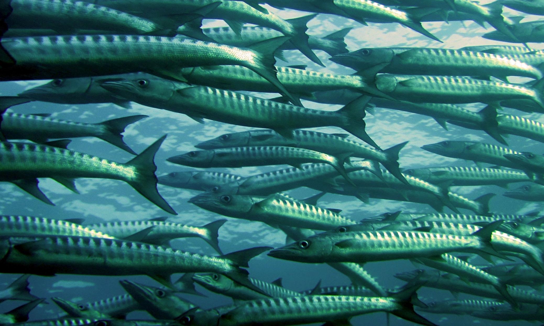 15. EAP. barracuda-fish-ocean-66218.jpg