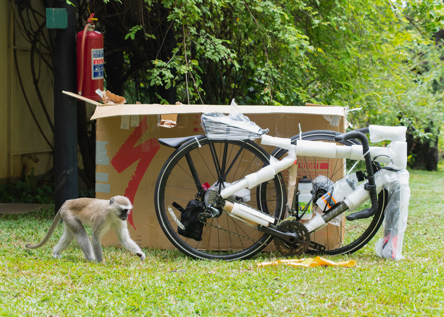 I was taking joyful photos of my bicycle when finally arrived after a long delay with British Air, when a sneaky monkey walked casually onto the scene, preparing for the theft.