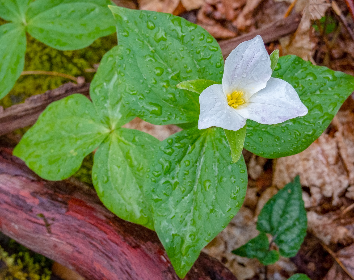 Trillium on Rododendron Root
