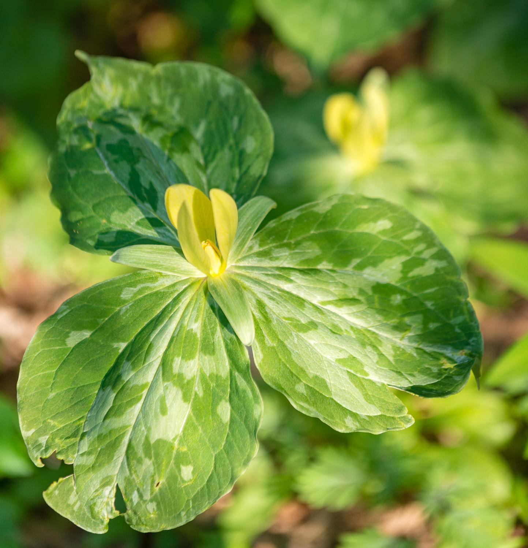 Yellow Trillium