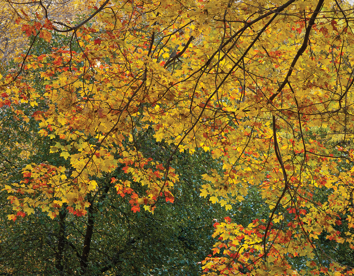Maples in Fall