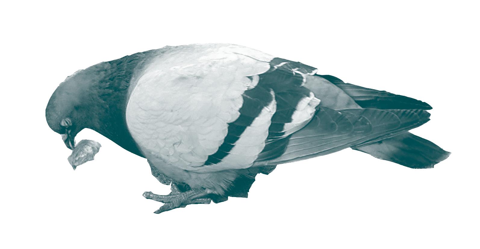 Pigeon3.png