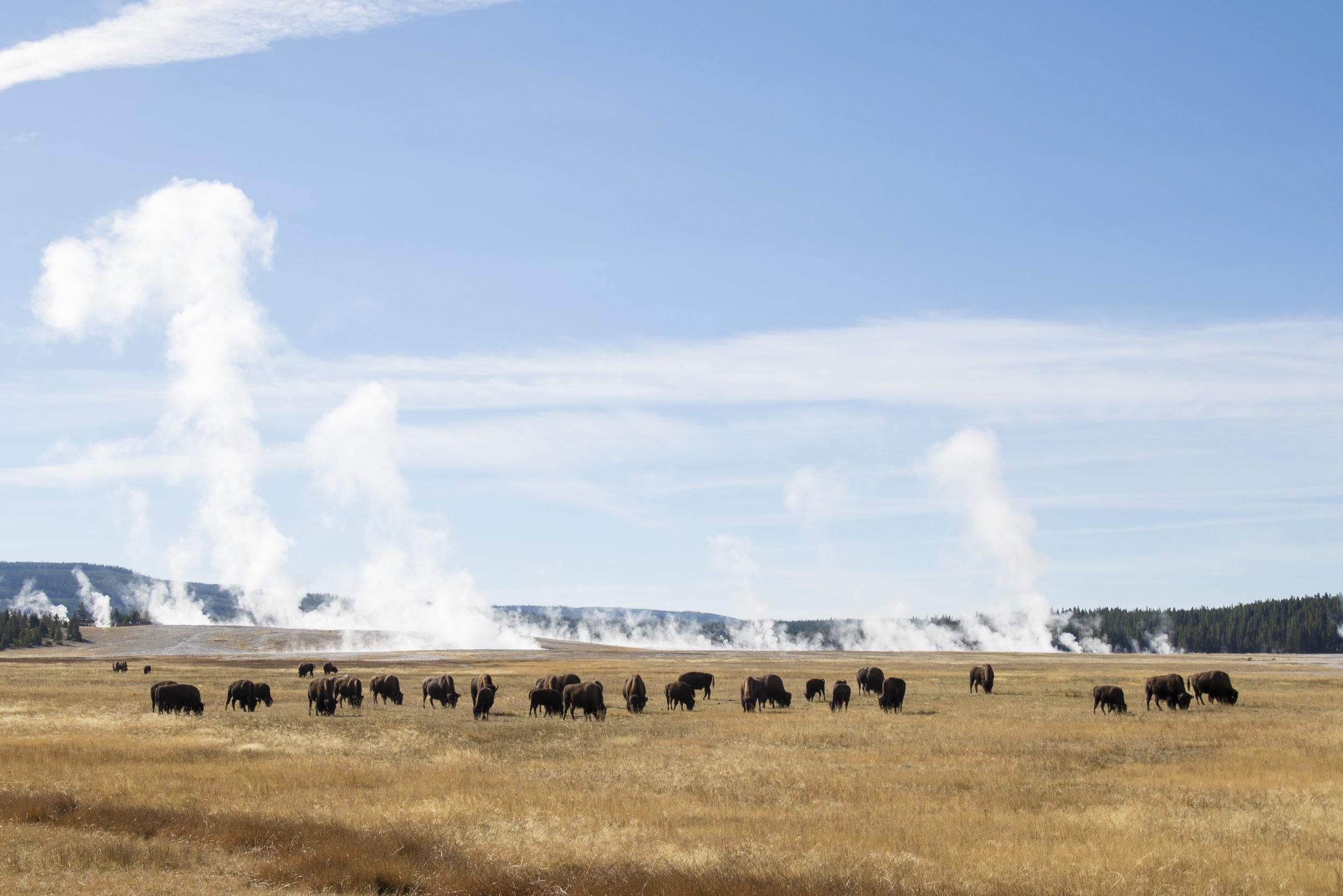 Montana Buffalos on the Range