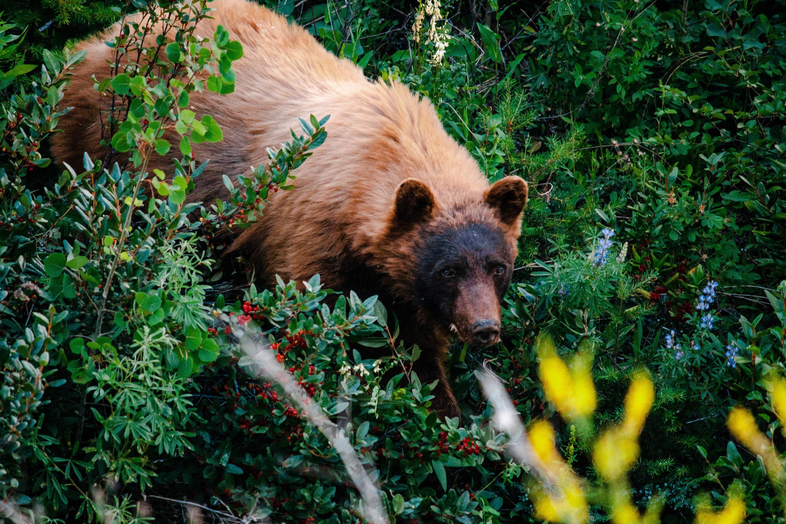 Glacier Natl Park Bear small.jpg