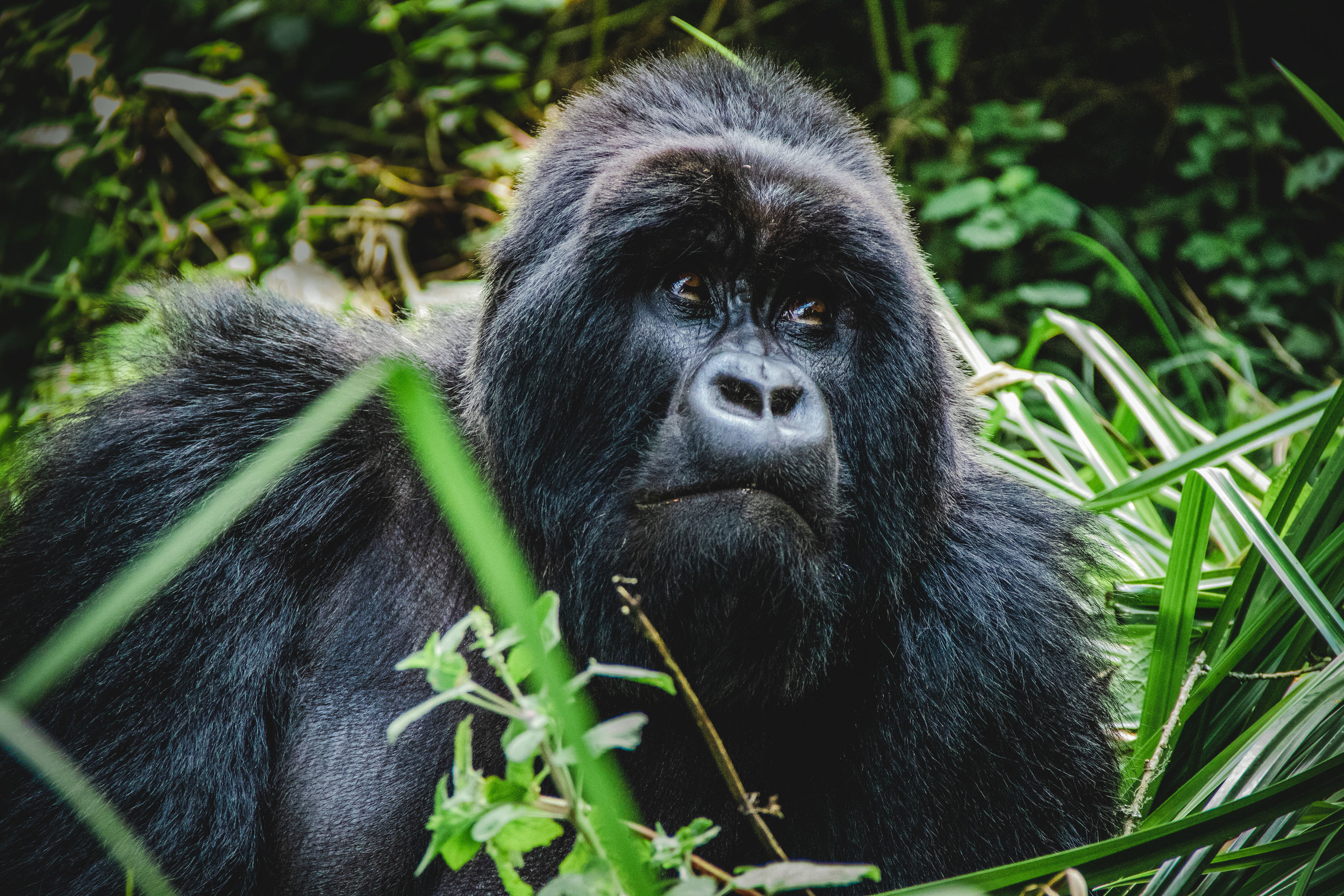 Gorilla 1 small.jpg
