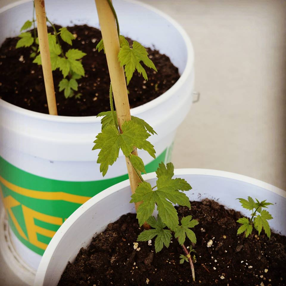 - Much like these little hop shoots, growing something great takes time. While we are building, plastering, painting, and getting ready for our equipment we have started growing a few hop bines which will produce lovely Cascade hops (little soft green buds that look a little like pinecones that create all sorts of citrusy and fruity flavours in beer) in a few years. While growing and building are fun acts of patience, we're impatiently looking forward to a few more months from now when we can share some hoppy beers with you at our brewery taproom!