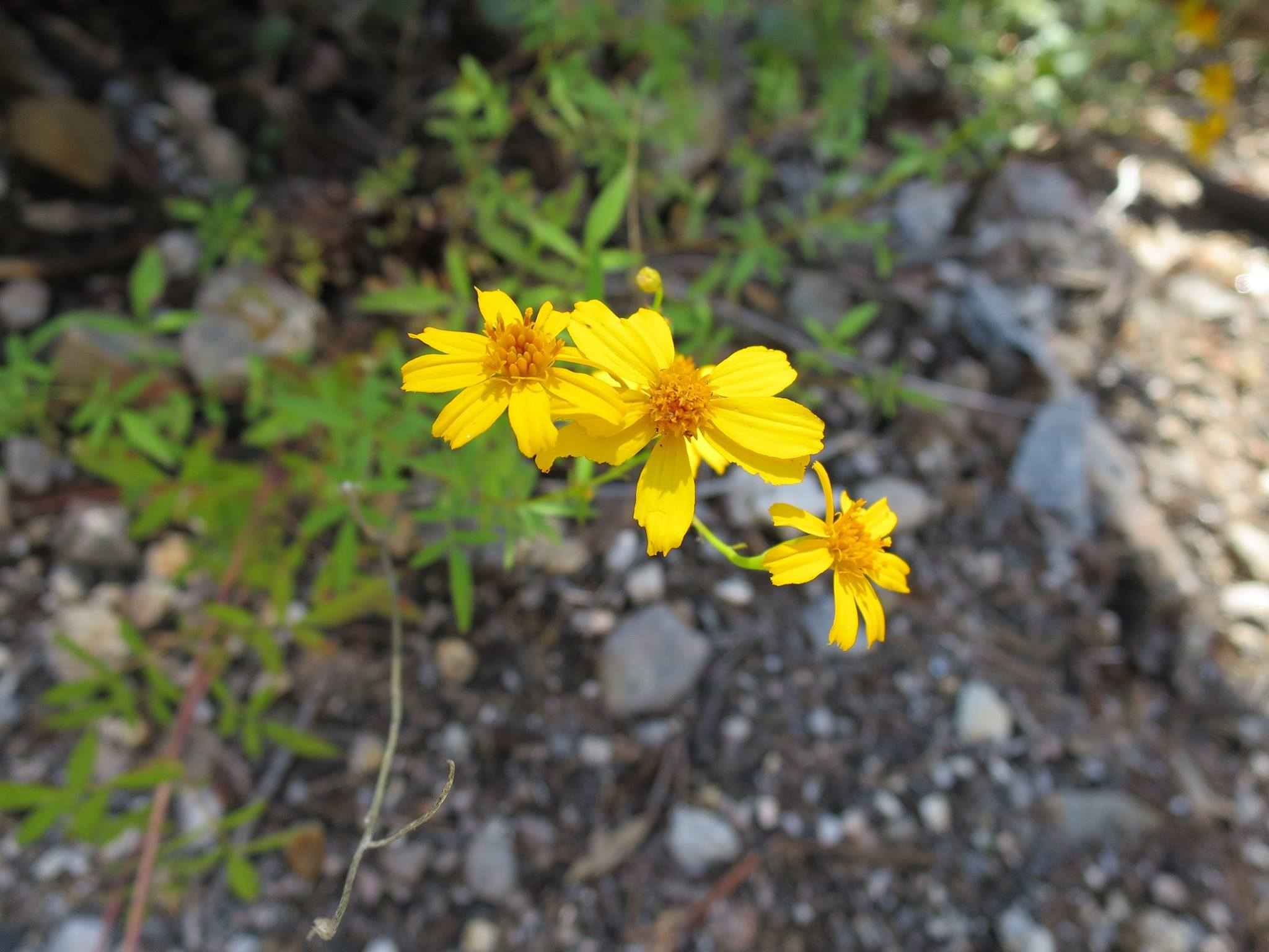 Yellow Flower on Mt Lemmon.jpg