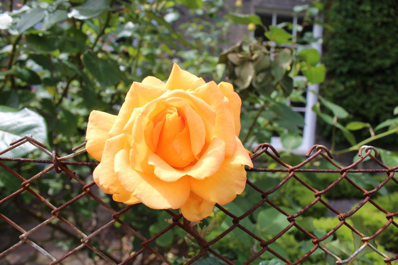 Edinburgh Rose.jpg