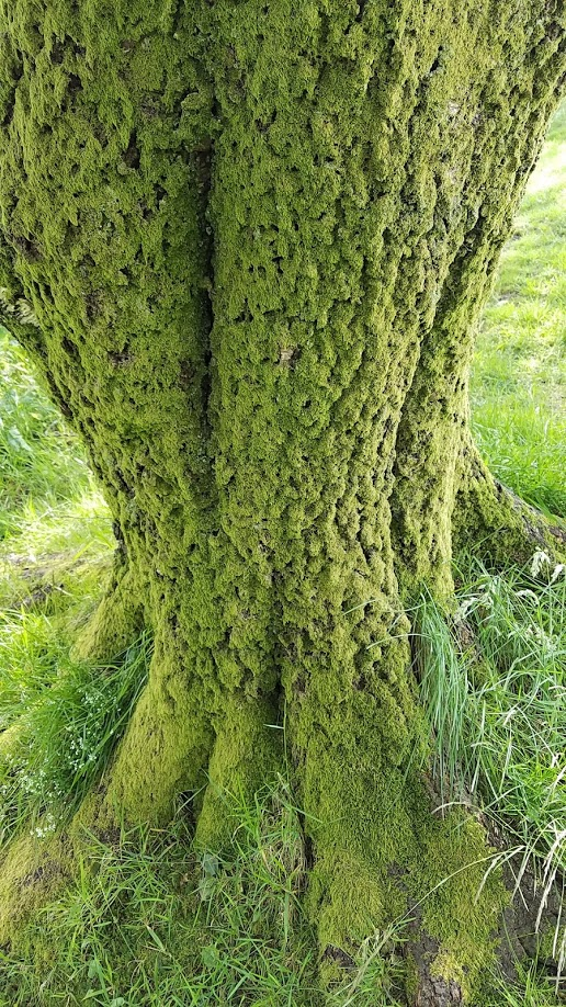 Moss covered tree in Oban.jpg