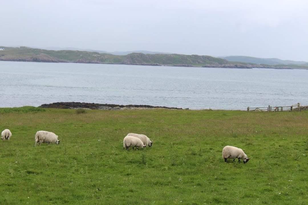 Sheep Grazing on Iona.jpg
