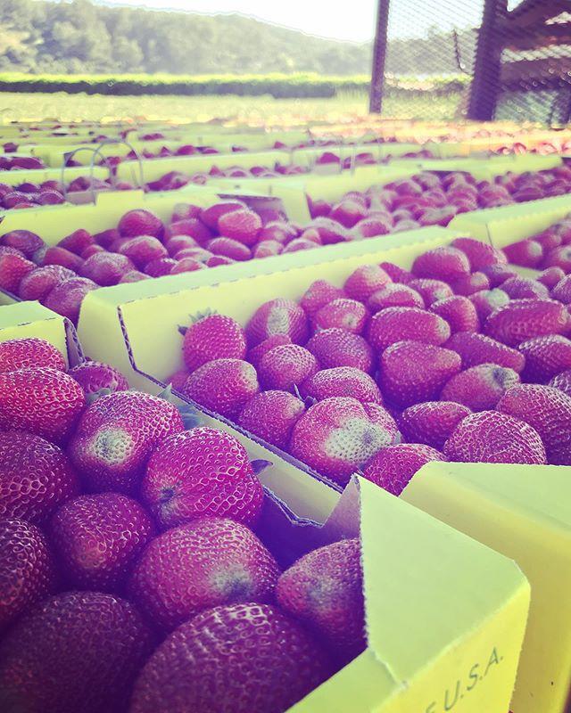 mucho fresas🍓 🍓 🍓  #lifeinwatsonville #strawberryfield #strawberry #field #fresa #fresas