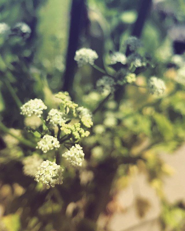 #flower #flowers #flora #celery #celeryflower #macro