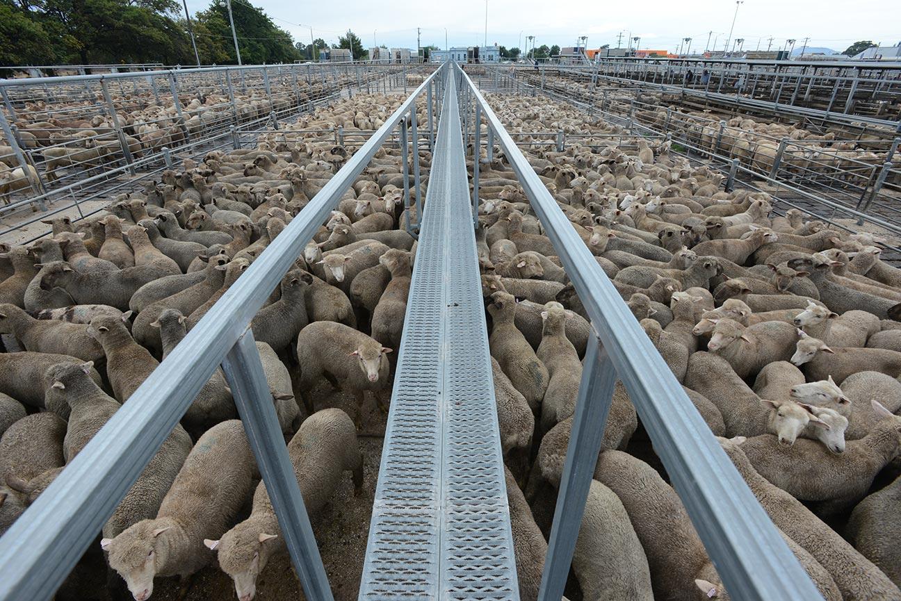 Sheep In A Sale Yard. Ballarat, Australia, 2013. Copyright J o-Anne McArthur / We Animals