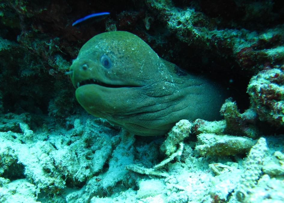 Moray Eel,
