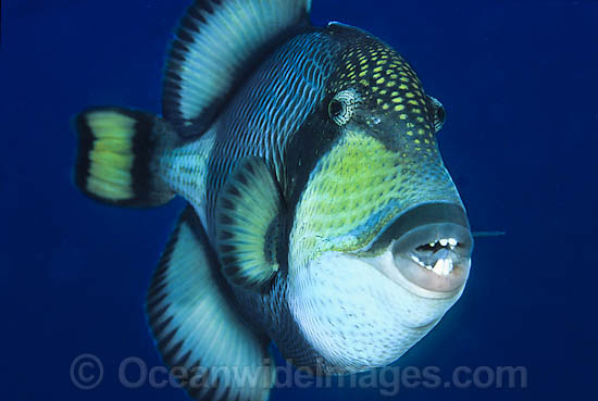 Titan Triggerfish (Even Looks Like An Asshole)
