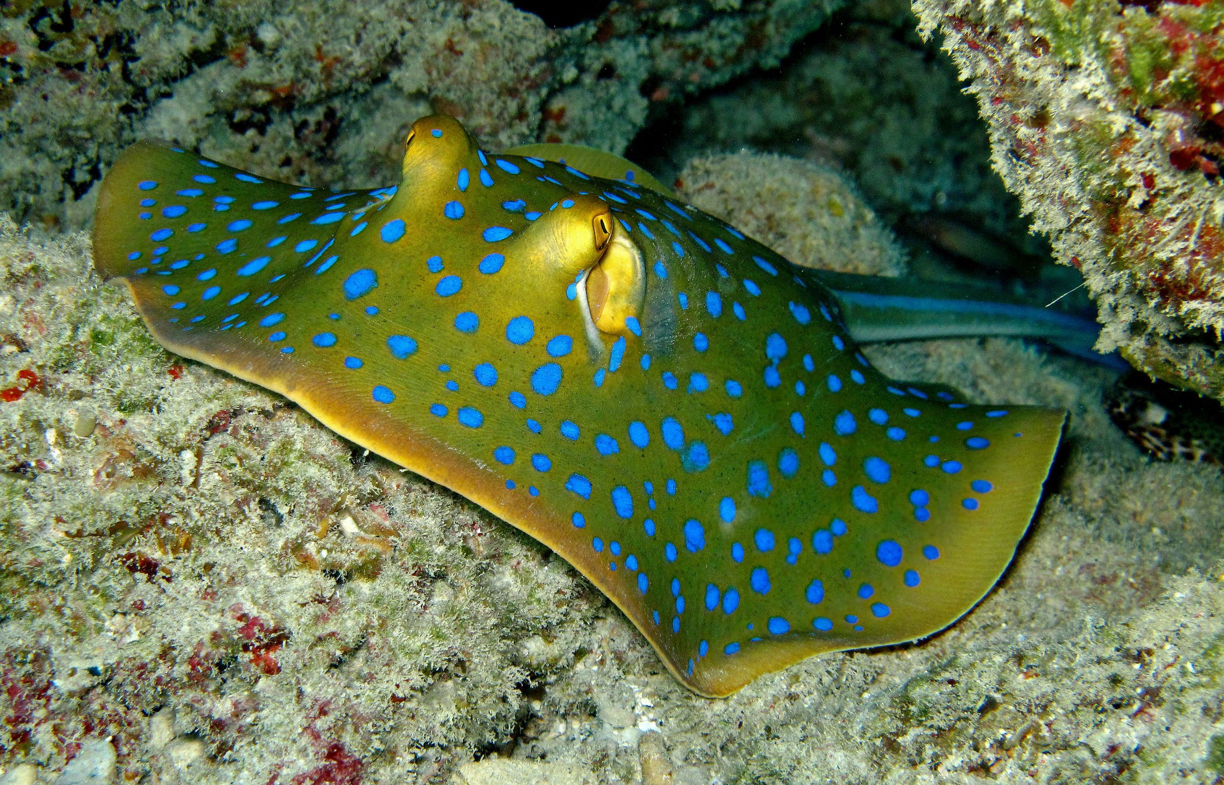 Blue-Spotted Ribbontail Stingray