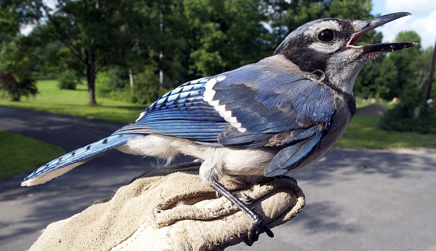 Blue jay copy 2.jpg