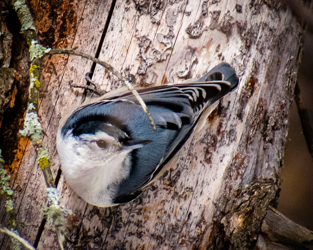 White-breasted Nuthatch seen along the trail