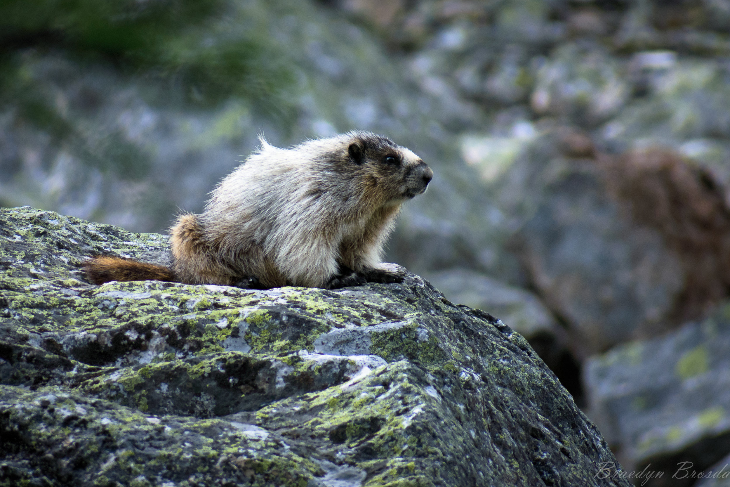 Wilfred the Hoary Marmot
