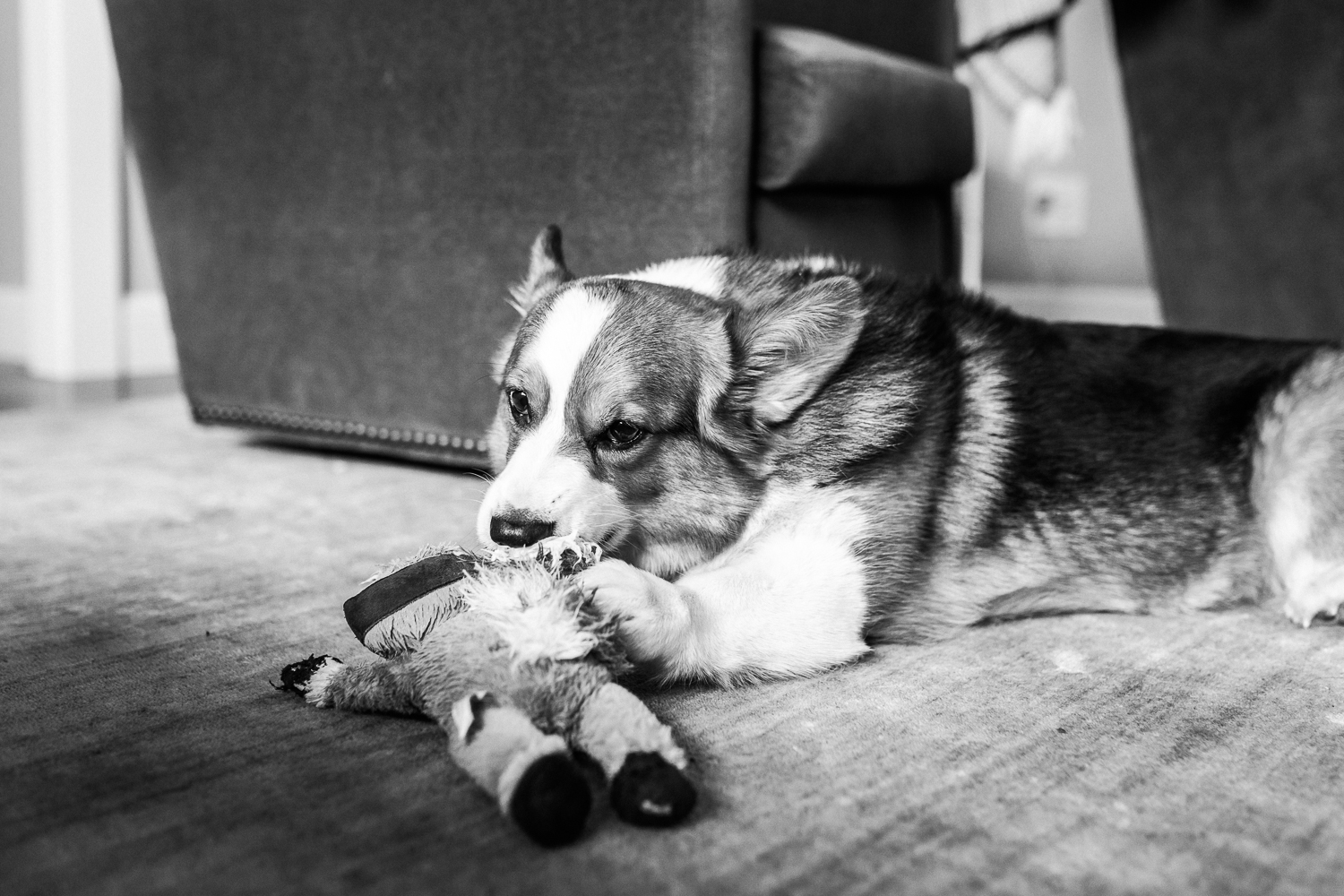 black and white picture of a family dog chewing on a favorite toy {East Bay Family Photography}