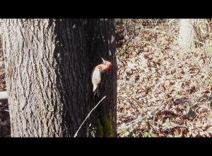 5696d-woodpecker.jpg