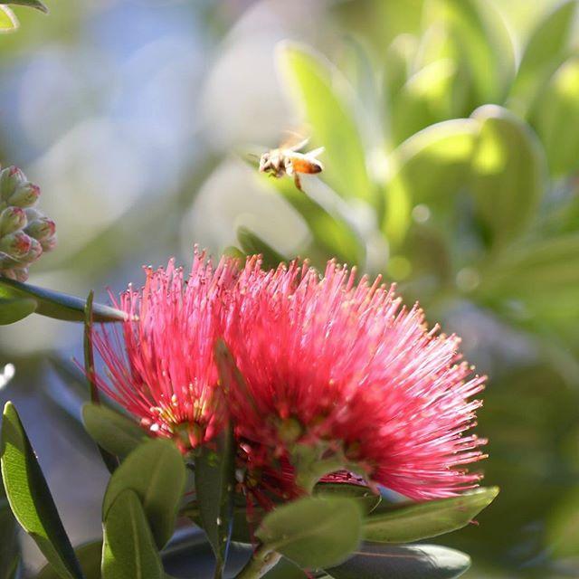 #pohutukawa #nzchristmastree #nznativetree #stunningcolor #crimsonred #bee #outcycling #merrychristmas