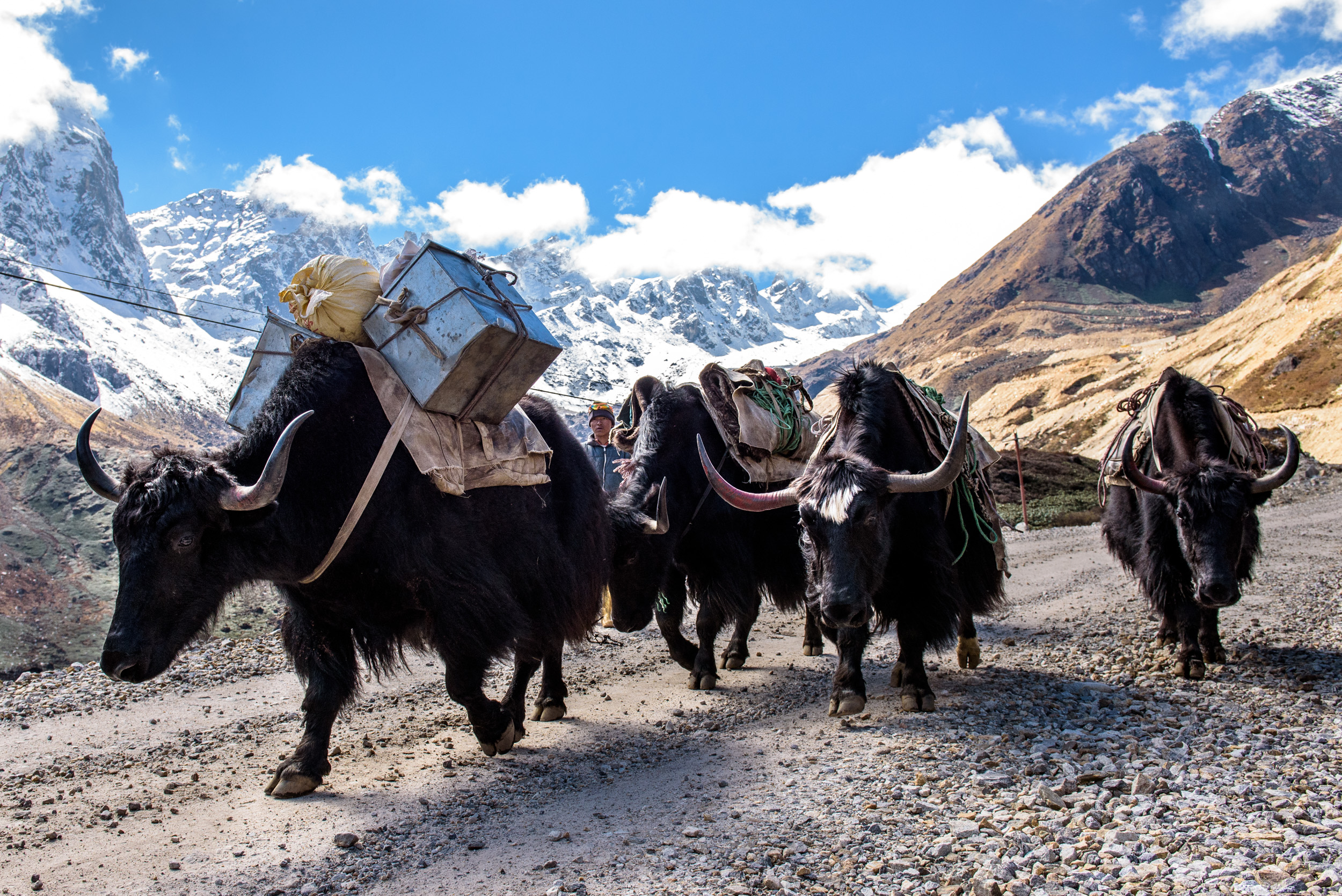 Yaks on their way to Thangu to get supplies for the army base in the Muguthang Valley, which is behind the mountains in the background.