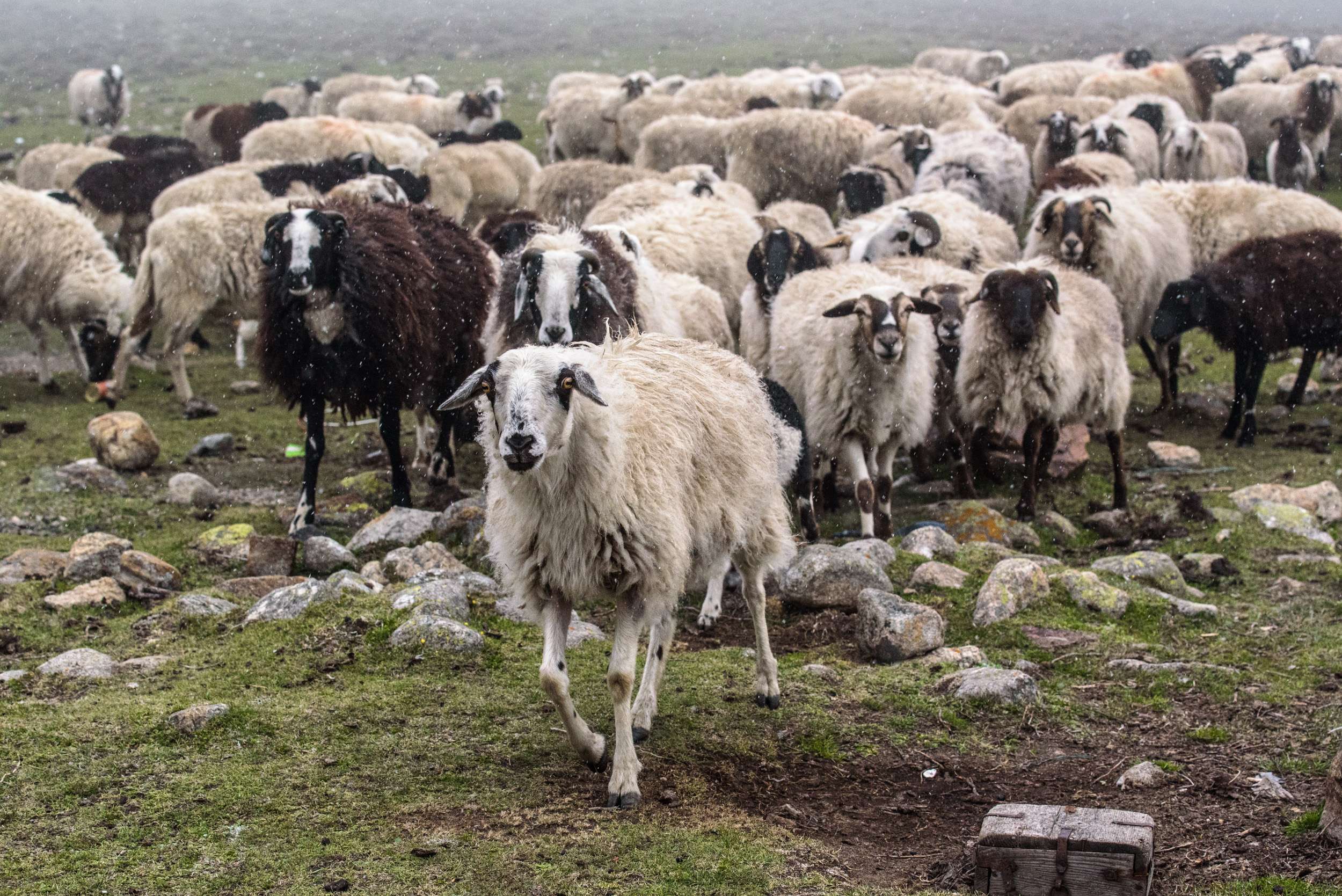 Tibetan sheep, as flurries fall on North Sikkim.
