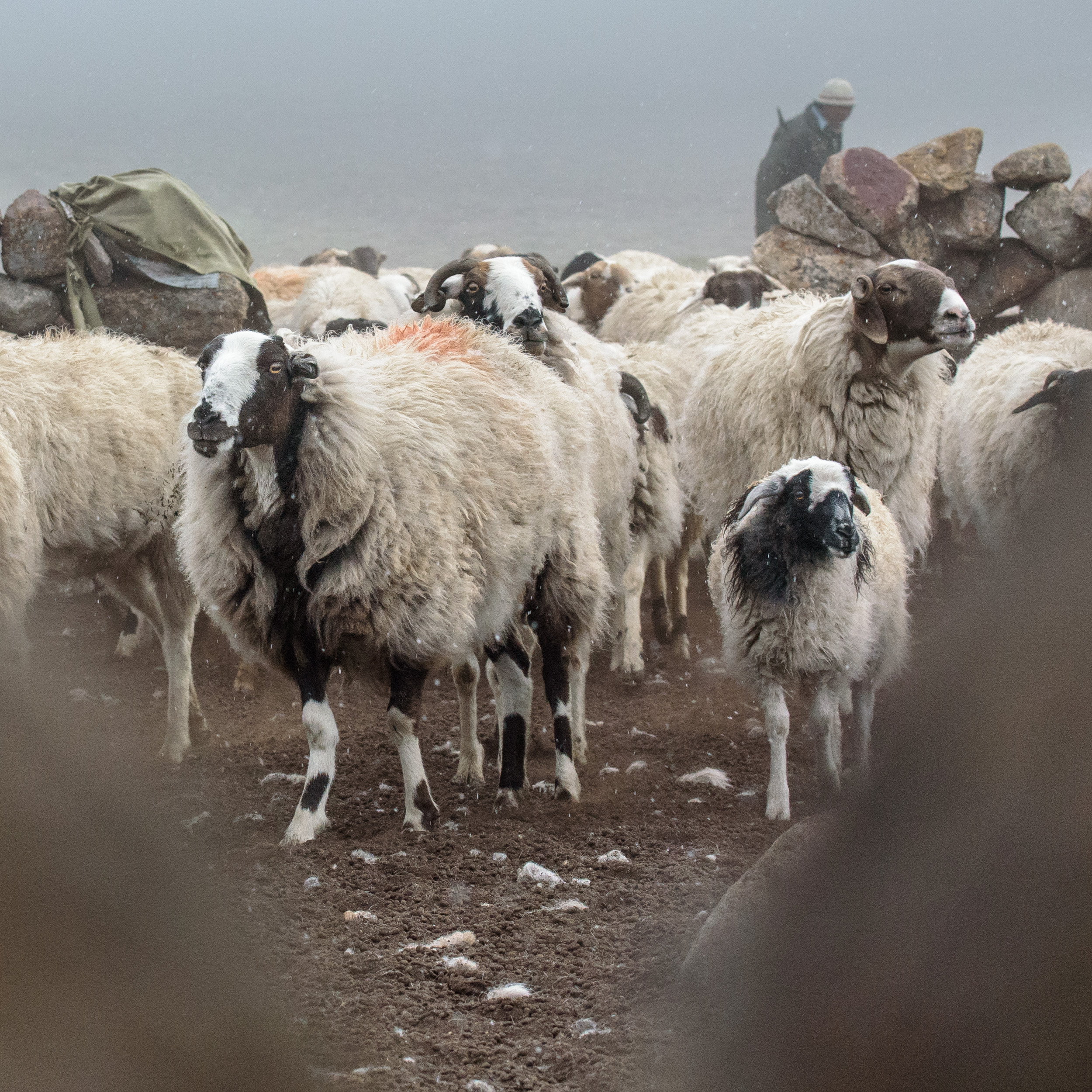 Check out the coat on that sheep!