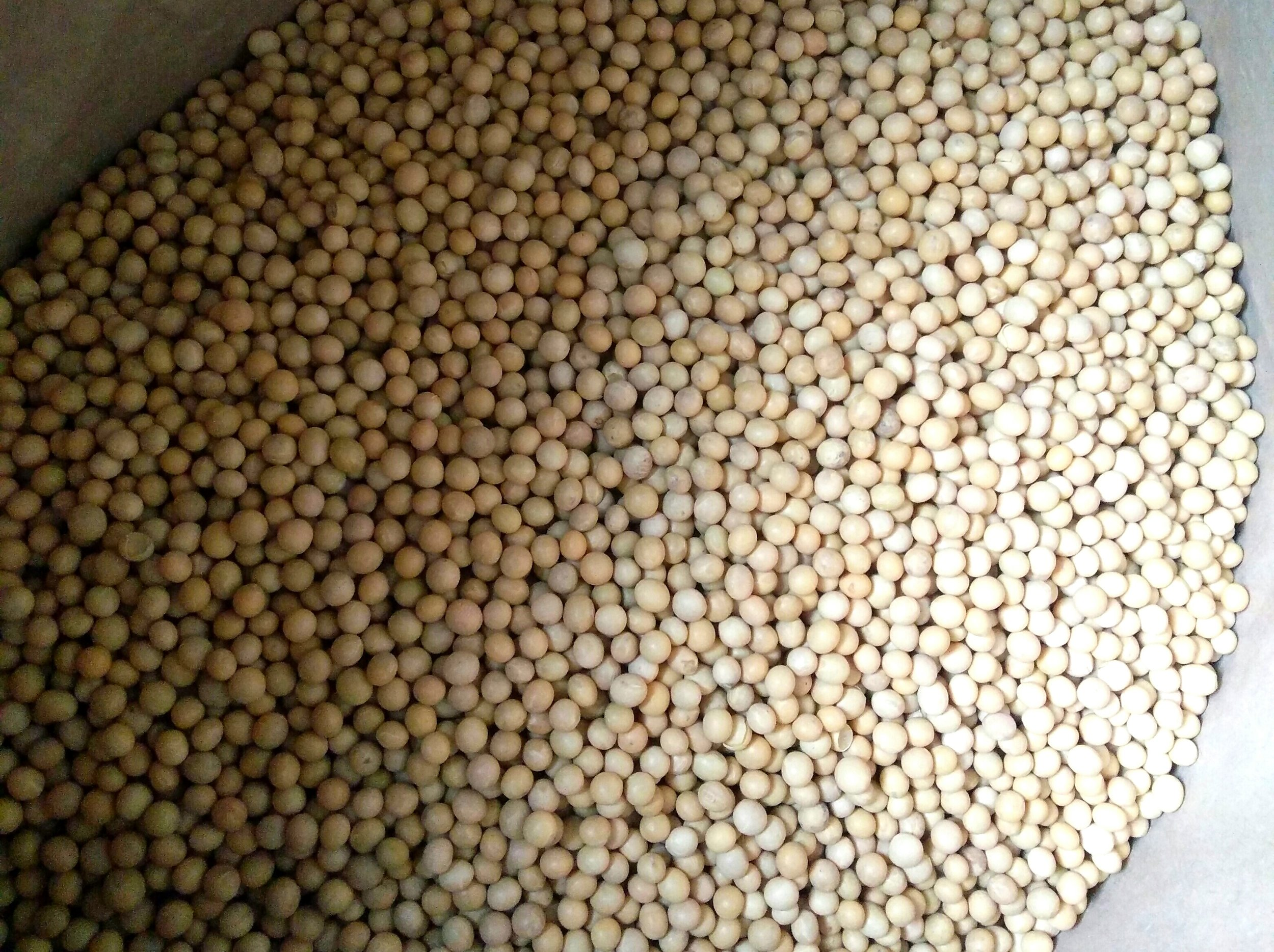 WHat variety of soya bean is suitable for the production of tempeh? - Here at Impulse Foods we prefer to use large Organically certified soybeans. There are no specific varieties which should be used for the production of tempeh. Soybeans which are bigger are preferred because they are easier to de-hull and easier to dry.
