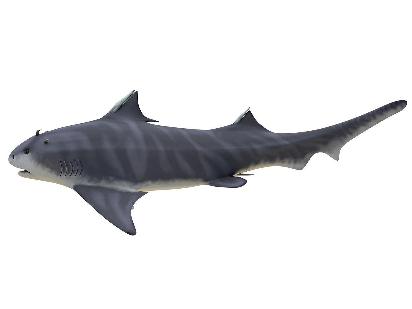 Hybodont Shark