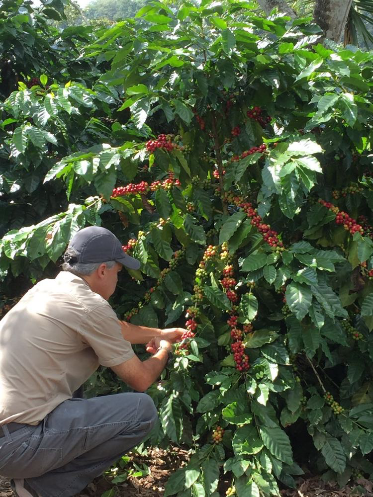 The picturesque surroundings of the Las Marias lot are aided by the San Luis Volcano and the Ceibas, Guatemala's national tree.  Being nearly a mile above sea level contributes to the phenomenal flavor of this coffee.