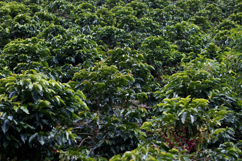 When you think of coffee, Colombian coffee is simply the best version of that. With clean processing and a burgeoning trade they produce excellent and uniquely predictable flavors in the cup.