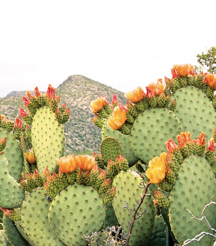 prickly pear green and orange hues.png