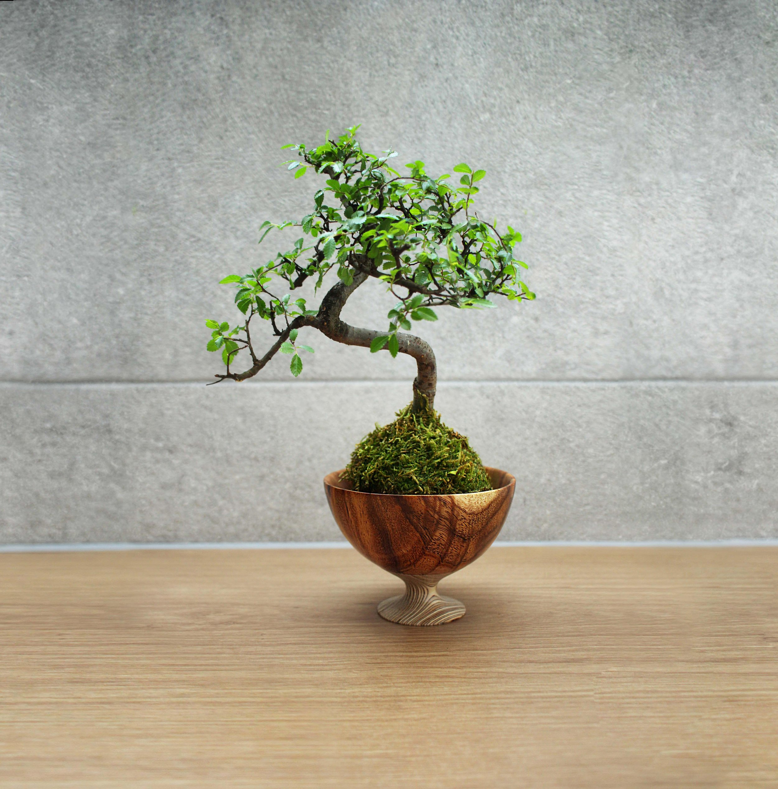 Chinese Elm copy 3.jpg
